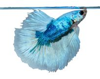 Blue white Siamese fighting fish Royalty Free Stock Image