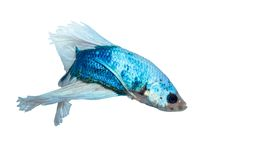 Blue white Siamese fighting fish Stock Images