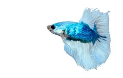 Blue white Siamese fighting fish Royalty Free Stock Photography