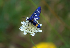 Blue white spotted butterfly Royalty Free Stock Image