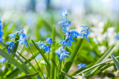 Blue and white spring flowers. Scilla sibirica Royalty Free Stock Photo
