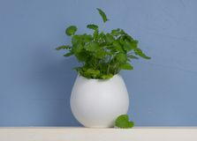 Blue and white still-life with mint in vase Stock Images