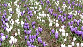 Blue and white tender delicate pastel meadow of spring crocus flowers, panoramic view.  stock video footage