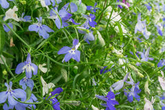 Blue and white Trailing Lobelia Sapphire flowers or Edging Lobelia, Garden Lobelia. Its Latin name is Lobelia Erinus Sapphire, native to South Africa, Malawi Royalty Free Stock Photo