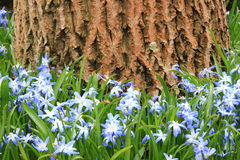 Blue and white windflower with walnut tree in background Royalty Free Stock Photos