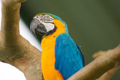 Blue, White and Yellow Macaw. Perched on a Branch royalty free stock photo