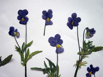 Blue wild dried pansy pattern Royalty Free Stock Photography