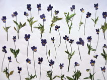 Blue wild dried pansy pattern Stock Image
