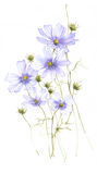Blue wild field flowers watercolor on white background Royalty Free Stock Image