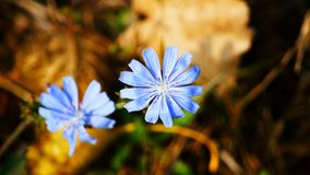 Blue wild flower. On a field in summer Royalty Free Stock Images