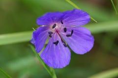 Blue wild flower. In the grass Stock Photos