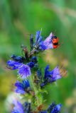Blue wild flower with a red bug Stock Images