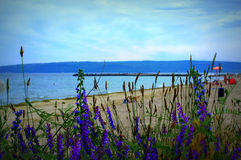Blue wild flowers on beach background Royalty Free Stock Photo