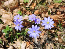 Blue wild flowers Stock Images