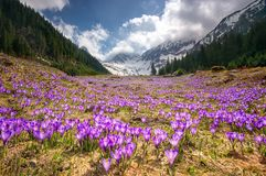 Blue wild flowers from the  Carpathian Mountain in Romania Stock Image