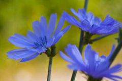 Blue wild flowers. Chicory Royalty Free Stock Photo