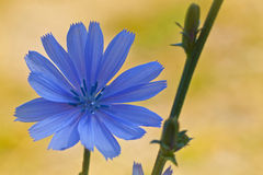 Blue wild flowers. Chicory Royalty Free Stock Images