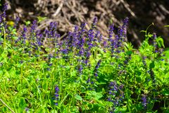 Blue wild flowers Royalty Free Stock Photography
