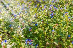 Blue wild flowers in the park Stock Photos
