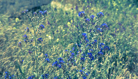 Blue wild flowers scene Royalty Free Stock Photos