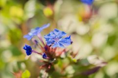 Blue wild flowers with shallow depth of field Stock Photo