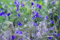 Blue wild flowers. Spring blue wild flowers and green foliage background Stock Images