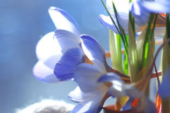 Blue wild flowers Royalty Free Stock Images