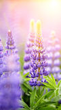 Blue wild-growing flowers of a lupine Royalty Free Stock Images