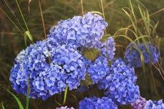 Blue wild hydrangea Royalty Free Stock Images