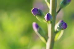 Blue wild-indigo Stock Images