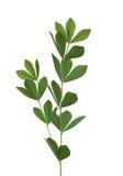 Blue Wild Indigo Leaf Royalty Free Stock Image