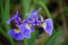 Blue Wild Iris (Iris Setosa) Stock Images