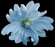 Blue wild mallow flower on the black isolated background with clipping path. Closeup. Element of design. Nature Royalty Free Stock Photo