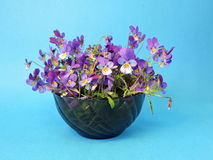 Blue wild pansy Royalty Free Stock Image