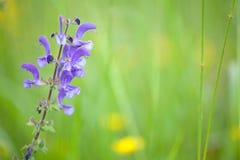 Blue wild sage Royalty Free Stock Image