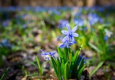 Blue wild spring flowers Royalty Free Stock Photos