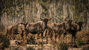 Blue wildbeests, Connochaetes taurinus Royalty Free Stock Photos