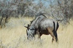Blue wildebeast in Etosha Stock Image