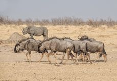 Blue Wildebeest Royalty Free Stock Photography