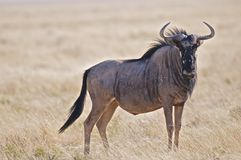 Blue Wildebeest. The Blue Wildebeest,Connochaetes taurinus, is essentialy a huge gazelle Royalty Free Stock Photo