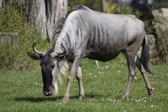 Blue wildebeest Royalty Free Stock Image