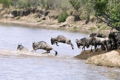 Blue Wildebeest. Several Wildebeest jump into the Mara River Royalty Free Stock Photos