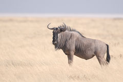 Blue wildebeest. The Blue Wildebeest (Connochaetes taurinus), also called the Common Wildebeest, is a large antelope and one of two species of wildebeest. It Stock Photography