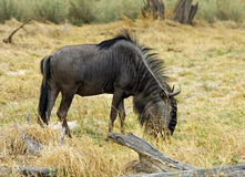 Blue Wildebeest Stock Images
