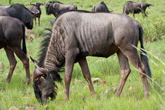 Blue Wildebeest. In grass field Stock Image