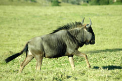 Blue Wildebeest Stock Photo