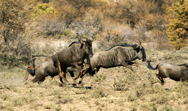 Blue Wildebeest. A Small herd of Blue Wildebeest (Gnu) fleeing from an enemy Royalty Free Stock Image
