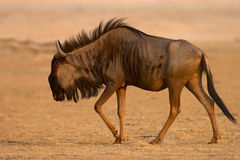 Blue wildebeest. Connochaetes taurinus; South Africa; Kalahari desert Stock Photos