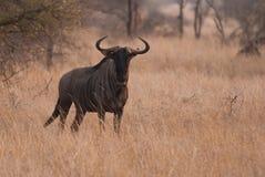 Free Blue Wildebeest Stock Photos - 40998263