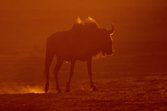Blue wildebeest. A blue wildebeest (Connochaetes taurinus) in dust at sunset, Kalahari, South Africa Royalty Free Stock Photography